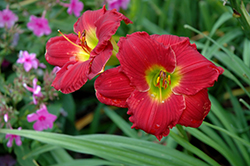 Happy Ever Appster® Red Hot Returns Daylily (Hemerocallis 'Red Hot Returns') at Westwood Gardens
