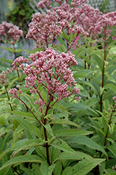Baby Joe Dwarf Joe Pye Weed (Eupatorium dubium 'Baby Joe') at Westwood Gardens