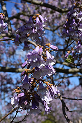 Royal Empress Tree (Paulownia tomentosa) at Westwood Gardens