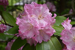 Wheatley Rhododendron (Rhododendron 'Wheatley') at Westwood Gardens