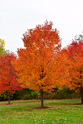 Commemoration Sugar Maple (Acer saccharum 'Commemoration') at Westwood Gardens