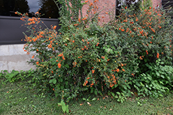 Scarlet Firethorn (Pyracantha coccinea) at Westwood Gardens