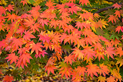 Japanese Maple (Acer palmatum) at Westwood Gardens