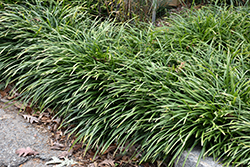 Big Blue Lily Turf (Liriope muscari 'Big Blue') at Westwood Gardens