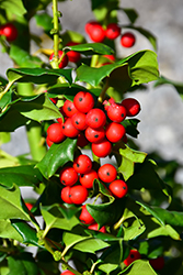China Girl Meserve Holly (Ilex x meserveae 'China Girl') at Westwood Gardens