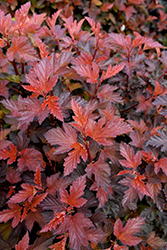 Coppertina® Ninebark (Physocarpus opulifolius 'Mindia') at Westwood Gardens