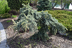 Weeping Blue Spruce (Picea pungens 'Pendula') at Westwood Gardens
