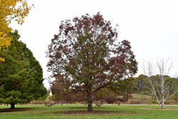 White Oak (Quercus alba) at Westwood Gardens