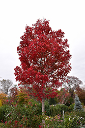 October Glory Red Maple (Acer rubrum 'October Glory') at Westwood Gardens