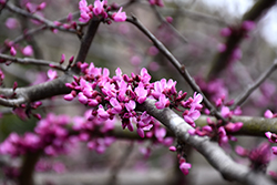 Burgundy Hearts Redbud (Cercis canadensis 'Greswan') at Westwood Gardens