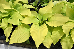 Dancing Queen Hosta (Hosta 'Dancing Queen') at Westwood Gardens