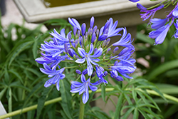 Storm Cloud Agapanthus (Agapanthus 'Storm Cloud') at Westwood Gardens
