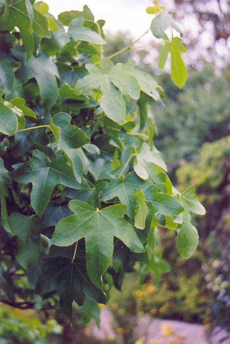 Round Leaf Sweet Gum  Liquidambar Styraciflua  U0026 39 Rotundiloba U0026 39   In Fayetteville Springdale Rogers