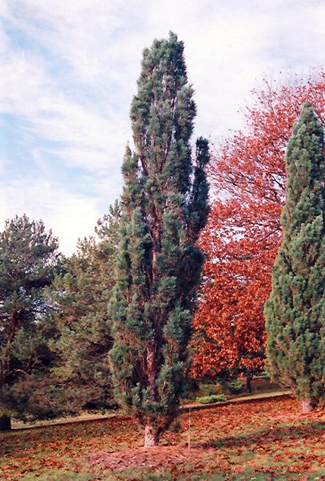 Scotch Sentinel Pine Pinus Sylvestris Fastigiata In