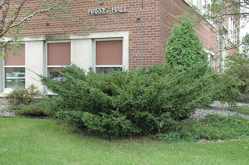 Taxus Cuspidata Hedge