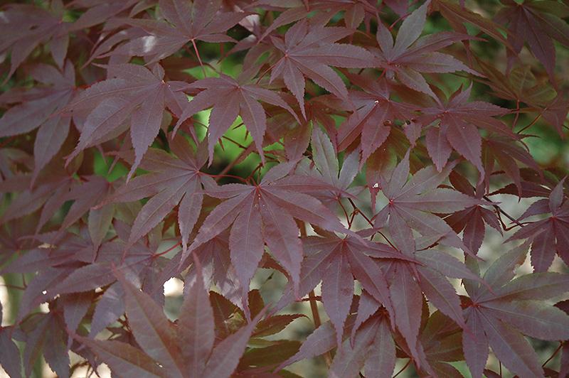 Margaret Bee Japanese Maple Acer Palmatum Margaret Bee