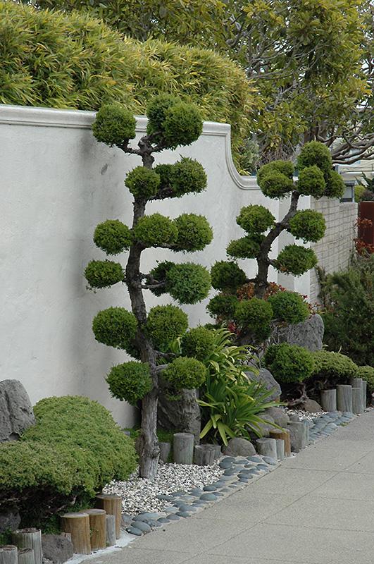 San Jose Juniper Juniperus Chinensis San Jose Ball Form