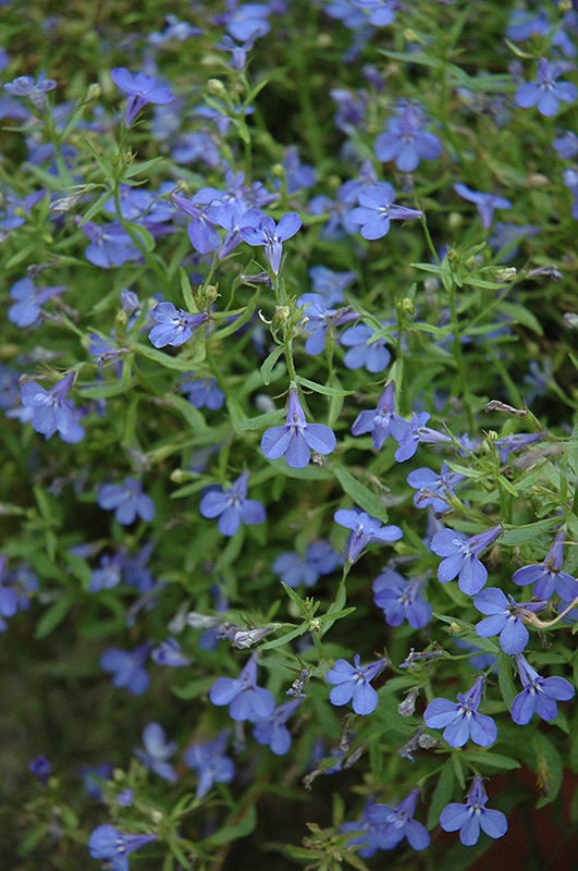 techno u00ae heat electric blue lobelia  lobelia erinus  u0026 39 techno