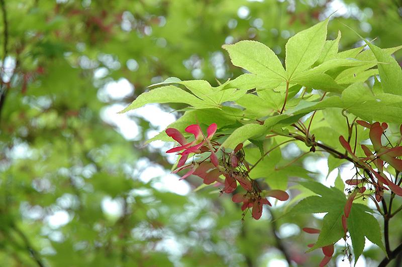 Okushimo Japanese Maple Acer Palmatum Okushimo In Fayetteville