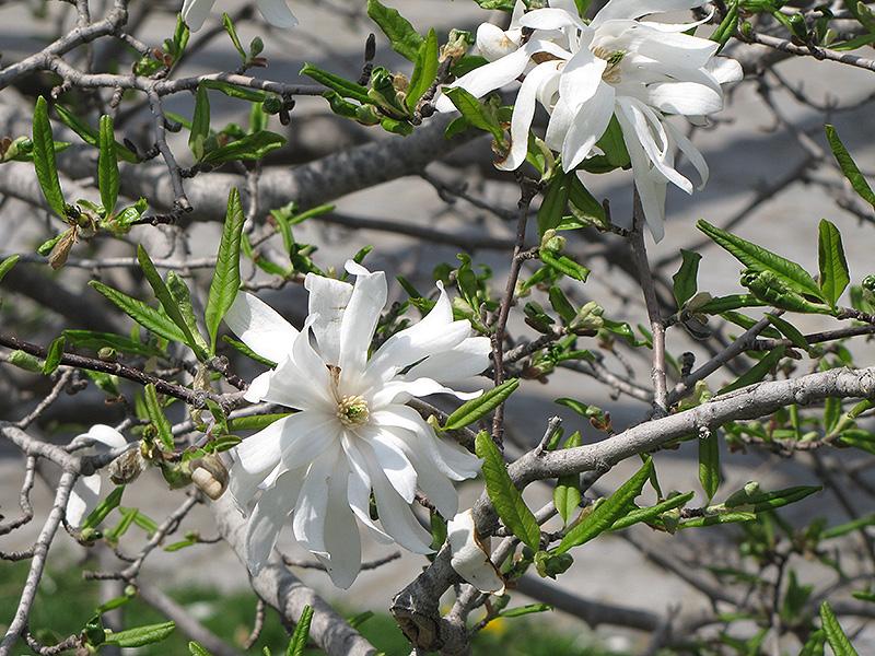 Royal Star Magnolia Magnolia Stellata Royal Star In