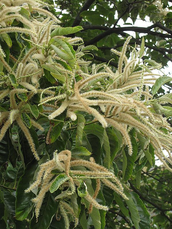 chinese chestnut  castanea mollissima  in fayetteville
