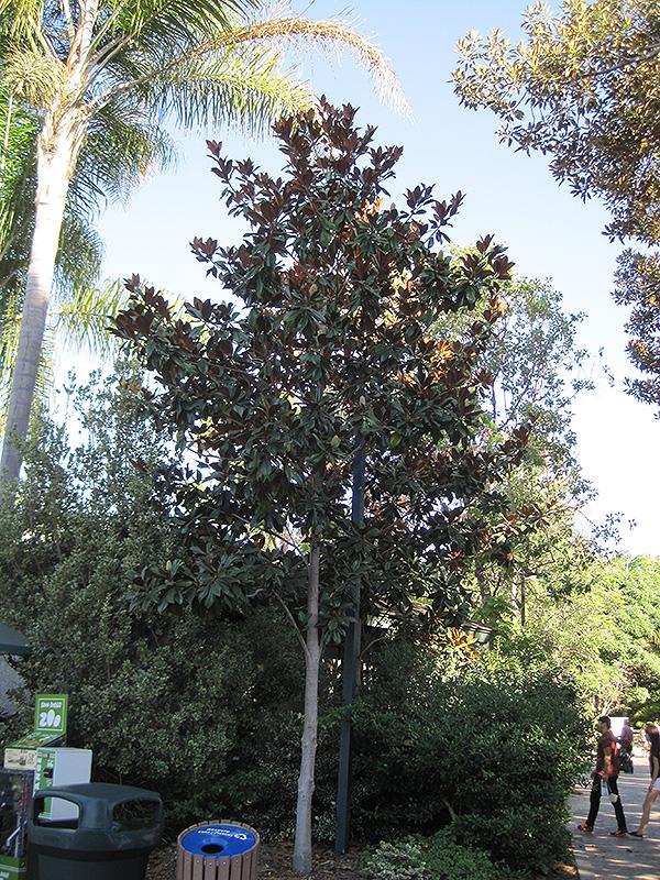 Teddy Bear Magnolia Magnolia Grandiflora Southern Charm In