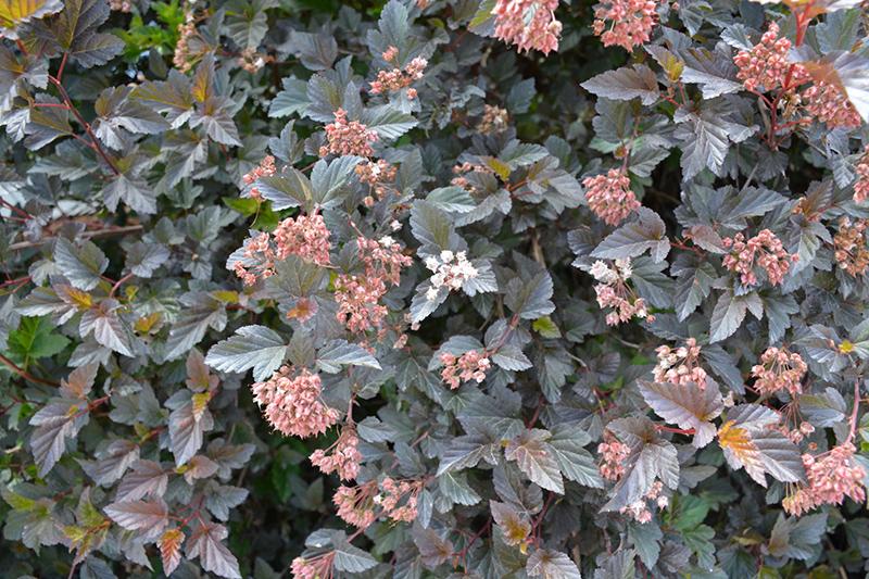 Summer Wine® Ninebark (Physocarpus opulifolius 'Seward') in