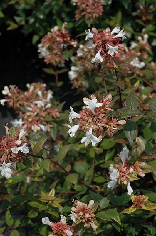 Little Richard Glossy Abelia Abelia X Grandiflora Little Richard