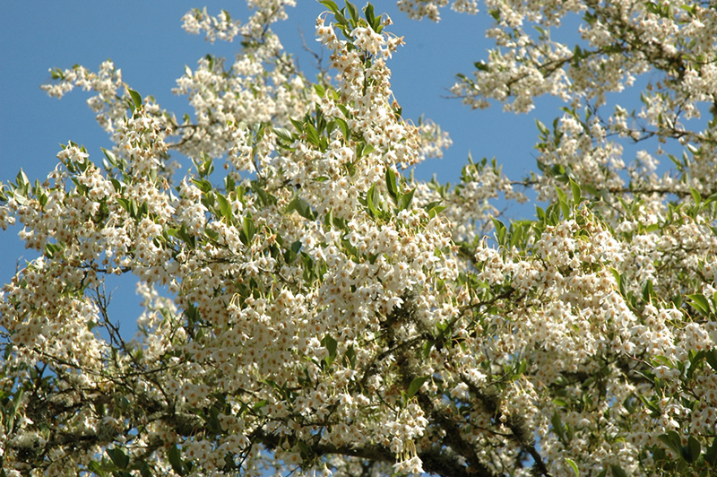 Carillon Japanese Snowbell Styrax Japonicus Carillon In
