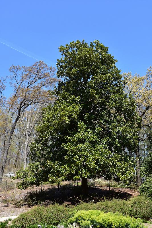 Southern Magnolia Magnolia Grandiflora In Fayetteville