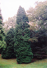 Hetz Wintergreen Arborvitae (Thuja occidentalis 'Hetz Wintergreen') at Westwood Gardens