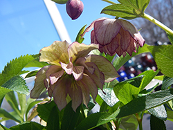 Maid Of Honor Hellebore (Helleborus 'Maid Of Honor') at Westwood Gardens