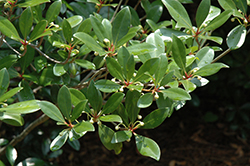 Japanese Cleyera (Cleyera japonica) at Westwood Gardens