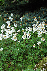 Windflower (Anemone sylvestris) at Westwood Gardens