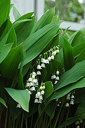 Lily-Of-The-Valley (Convallaria majalis) at Westwood Gardens