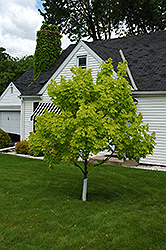 Princeton Gold Maple (Acer platanoides 'Princeton Gold') at Westwood Gardens