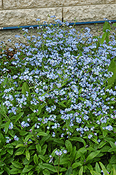 Forget-Me-Not (Myosotis sylvatica) at Westwood Gardens