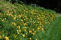 Happy Ever Appster® Happy Returns Daylily (Hemerocallis 'Happy Returns') at Westwood Gardens