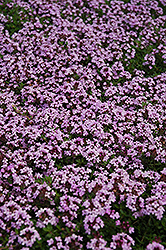 Red Creeping Thyme (Thymus praecox 'Coccineus') at Westwood Gardens