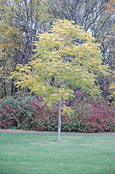 Kentucky Coffeetree (Gymnocladus dioicus) at Westwood Gardens