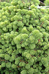 Little Gem Spruce (Picea abies 'Little Gem') at Westwood Gardens