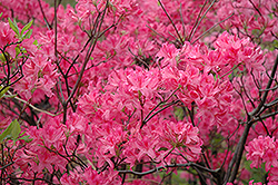 Northern Lights Azalea (Rhododendron 'Northern Lights') at Westwood Gardens