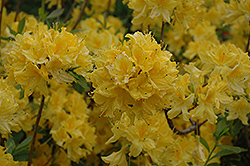 Lemon Lights Azalea (Rhododendron 'Lemon Lights') at Westwood Gardens