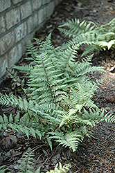 Ghost Fern (Athyrium 'Ghost') at Westwood Gardens