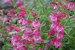 Red Rocks Beard Tongue (Penstemon x mexicali 'Red Rocks') at Westwood Gardens