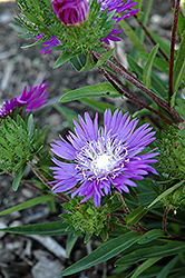 Honeysong Purple Aster (Stokesia laevis 'Honeysong Purple') at Westwood Gardens