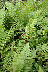 Lady in Red Fern (Athyrium filix-femina 'Lady in Red') at Westwood Gardens