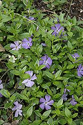 Common Periwinkle (Vinca minor) at Westwood Gardens
