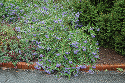 Blue Mist Caryopteris (Caryopteris x clandonensis 'Blue Mist') at Westwood Gardens