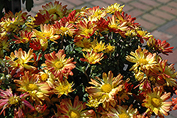 Dazzling Stacy Chrysanthemum (Chrysanthemum 'Dazzling Stacy') at Westwood Gardens